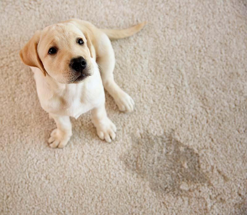 dog accident on carpet